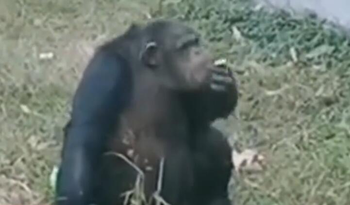 """黑猩猩""""抽烟"""" 烟是游客给的!事发合肥野生动物园"""